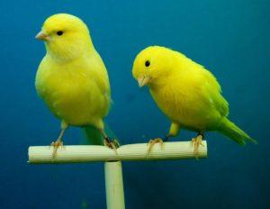 Zwei Kanarienvögel